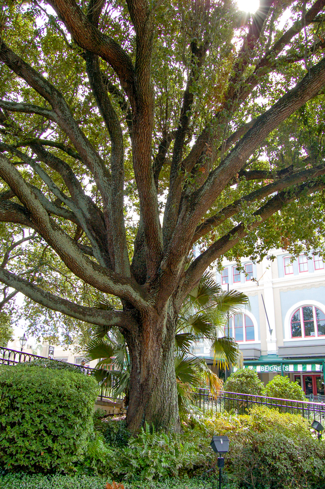 Oak Tree in Jackson Square | Culinary Cool