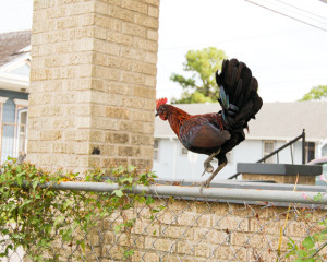 Wild Rooster in New Orleans | Culinary Cool